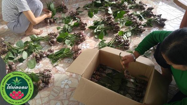 กิ่งพันธุ์พริกไทยซีลอน สวนแก้วมังกร ไร่พ่อจอม